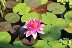 Blühende Wasserrose im Gartenteich